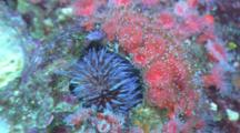 Strawberry Anemone (Corynactis Californica) And An Purple Sea Urchin (Strongylocentrotus Purpuratus)