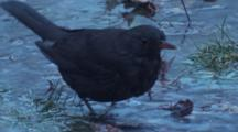 Blackbird Bathes Among Fallen Leaves