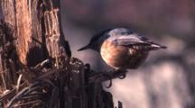 Eurasian Nuthatch Feeds On Food Hidden On Tree Trunk
