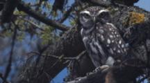 Little Owl Rests Up In Tree