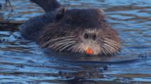 Coypu Or Nutria Feeds And Swims