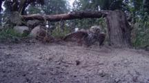 Little Owl Jumps From Tree To Ground Near Dust Bath