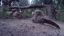 Little Owl Takes Dust Bath In Ash To Control Insect Pests
