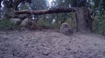 Little Owl Jumps From Tree To Ground To Take Dust Bath
