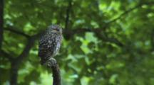 Little Owl_Observe Around