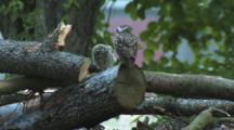 Little Owl, Looks Around, With Big, Fluffy Chick