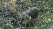 Little Owl Takes Dust Bath In Ashy Soil