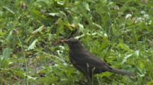Common Blackbird, Running, In The Grass