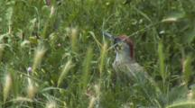 Green Woodpecker, In The Grass, Eating Ants, Fighting Between Them