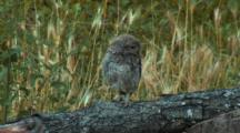 Little Owl Takes Dust Bath In Ashy Soil, Moves Around Area