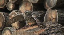 Little Owl, Stretching, Observe Around,