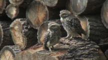 Little Owl, Observe Around, Cuddles