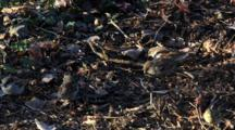 House Sparrows Feed In Leaf Litter