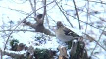 Chaffinch, Female, Great Tit