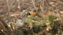 House Sparrow, Female, Brambling, Male