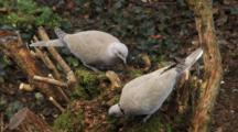 Eurasian Collared Doves Feeding