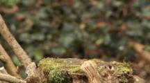 Marsh Tit, Flight, Go Hunting By House Sparrow