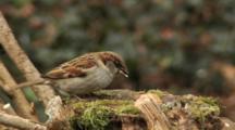 House Sparrow, Flight, Go Hunting By Marsh Tit