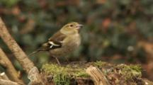 Greenfinch, Female, Observing Around