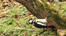 Great Spotted Woodpecker, Male, Hammer, Flight