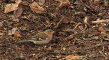Brambling Male, Searching Food, Clearing Leaves