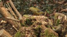 Greenfinch, Male, Female, Food