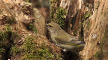 Greenfinch, Female, Food