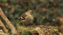 Greenfinch, Female, Food, Motionless