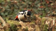Great Spotted Woodpecker, Male, Hammer, Searching Food