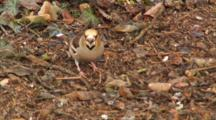Hawfinch, Clearing Leaves, Searching Food