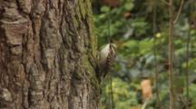 Short-Toed Treecreeper, Climbing Up Tree Trunk