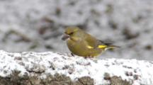 Greenfinch, Male, House Sparrow, Food, Snow