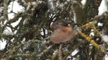 Chaffinch Male, Flight, Go Hunting By Greenfinch