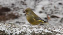 Greenfinch, Male, Chaffinch, Male, Flight