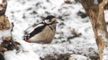 Great Spotted Woodpecker, Female, Hammer, Flight,