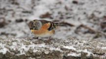 Brambling, Male, Go Hunting By Chaffinch, Flight
