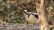 Great Spotted Woodpecker, Female, Hammer, Flight,
