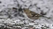 Greenfinch, Female, Go Hunting By Chaffinch, Male, Flight