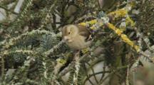 Greenfinch, Female, Observing Around,