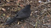 Blackbird, Clearing Leaves,