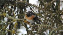 Brambling, Male, Observing Around,