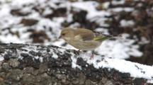 Greenfinch, Male, Female, House Sparrow