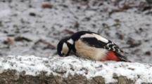 Great Spotted Woodpecker, Female, Flight,