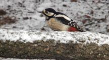 Great Spotted Woodpecker, Female, Hammer, Turning Around A Branch