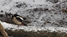 Great Spotted Woodpecker, Female, Hammer, Flight