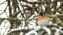 Brambling Male, Observing Around, Snow Falling Hard