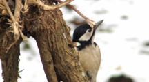 Great Spotted Woodpecker, Female, Hammer,