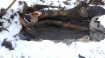Hawfinch, Drinking,