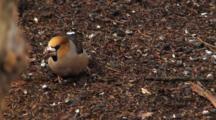 Hawfinch,