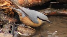 Nuthatch, Drinking, Toilet